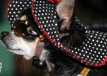 A chihuahua wearing a bonnet and sunglasses