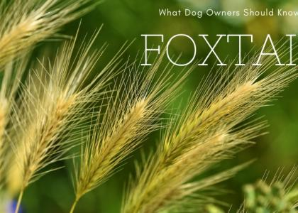 Photo of foxtail plants